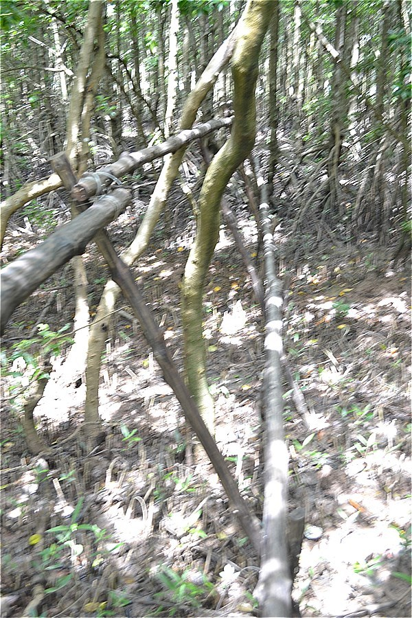 マングローブの森の一角に、200mぐらいの細い木の枝がつながっていた。